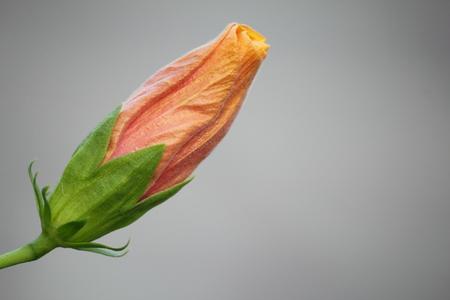 flori culture: Hibiscus flowers