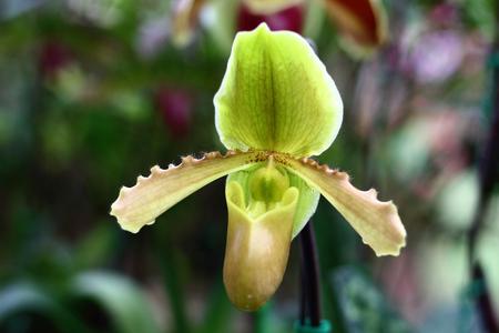 paphiopedilum: Paphiopedilum orchid species