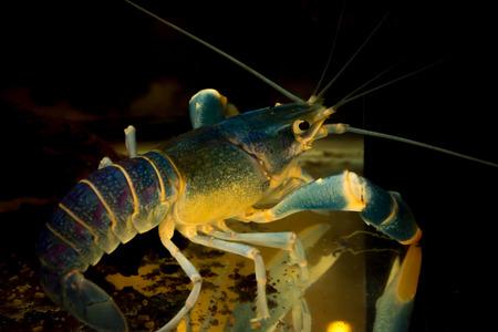 cpo: aquarium lobster