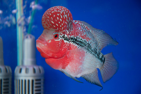 aquarium fish, flower horn fish on blue screen photo