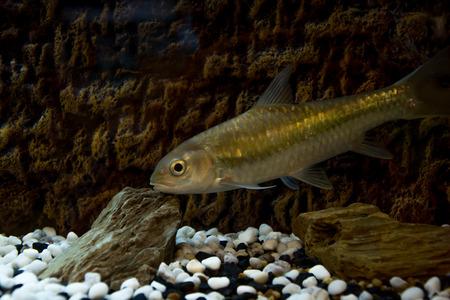 aquarian fish: aquarium fish