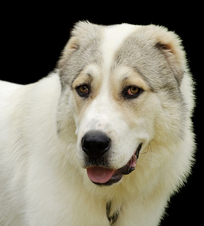 Central Asian Shepherd Stock Photo