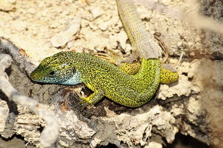 slithering: Lizard