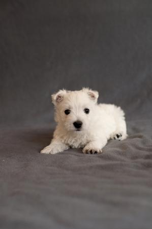 Westie puppy Stock Photo