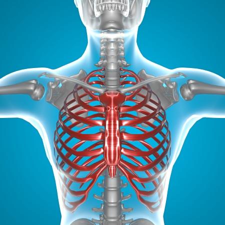 thorax: X-ray thorax