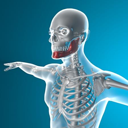 jawbone: Jawbone x-ray Stock Photo