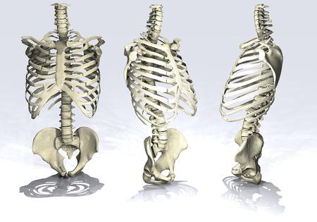 tarsus: Man scheletro cassa toracica
