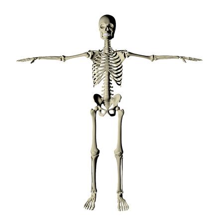 tarsus: Scheletro e ossa di un corpo umano su uno sfondo bianco