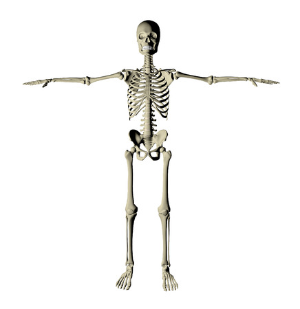 Skeleton and bones of a human body on a white background photo