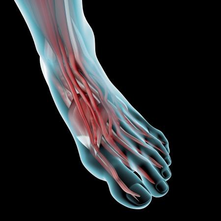 Foot anatomy illustration Stock Photo