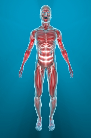 male parts: Man muscles anatomy Stock Photo