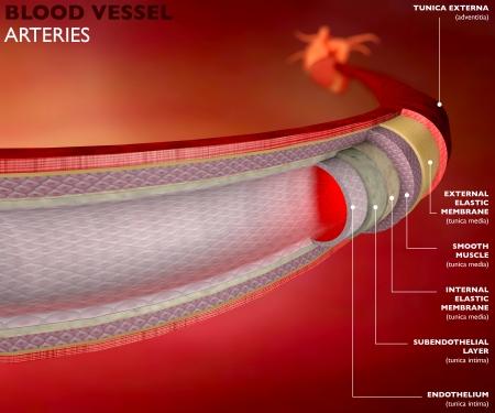 Része egy véredény, artéria, vörös vérsejtek, szív