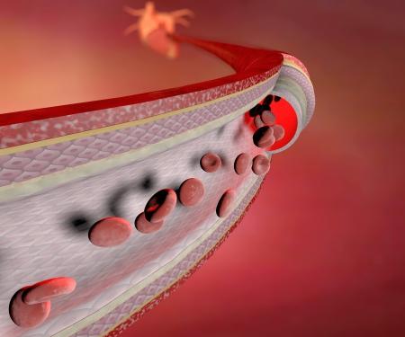 globulo rojo: Secci�n de un vaso sangu�neo, la arteria, las c�lulas rojas de la sangre, el coraz�n