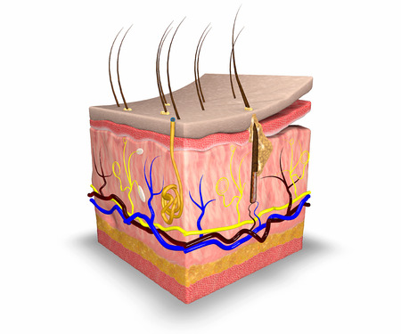 sensory: Skin layers