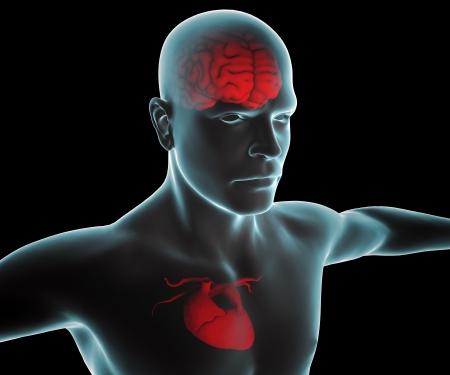 coraz�n y cerebro: Cuerpo humano con el coraz�n y el cerebro de rayos x