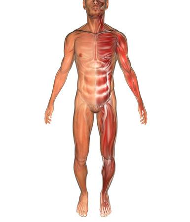 tarsus: L'uomo e muscoli visto su raggi x