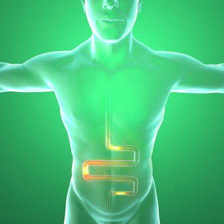 higado humano: Los hombres s anatom�a, sistema digestivo Foto de archivo