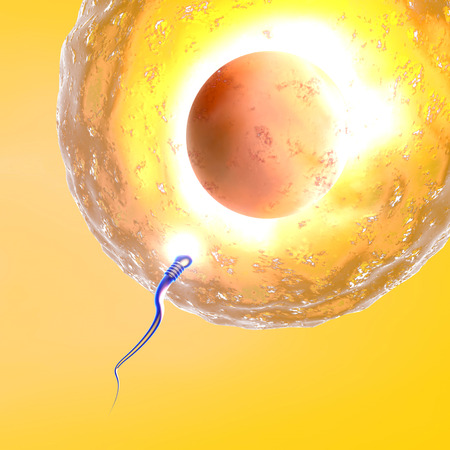 ovary: Conception ovum and sperm
