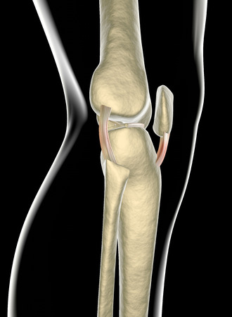 ligaments: Knee ligaments, tendons, x-ray