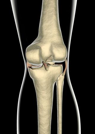 tendones: Ligamentos de la rodilla, tendones, de rayos x Foto de archivo