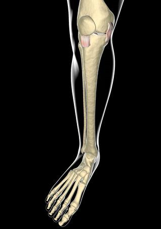 partes del cuerpo humano: Ligamentos de la rodilla, tendones, de rayos x Foto de archivo