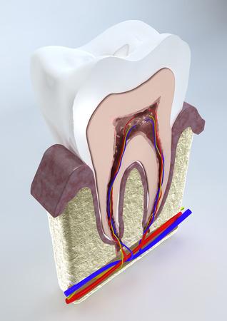 vasos sanguineos: Secci�n de un diente, las enc�as y los vasos sangu�neos vista 3D de una secci�n del diente, el dentista, las enc�as, la odontolog�a
