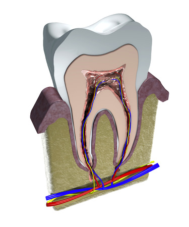 dentin: Section of a tooth, gums and blood vessels  3d view of a sectioned tooth , dentist , gum, dentistry