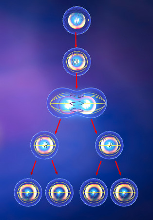Illustration of meiosis Stok Fotoğraf - 27858583