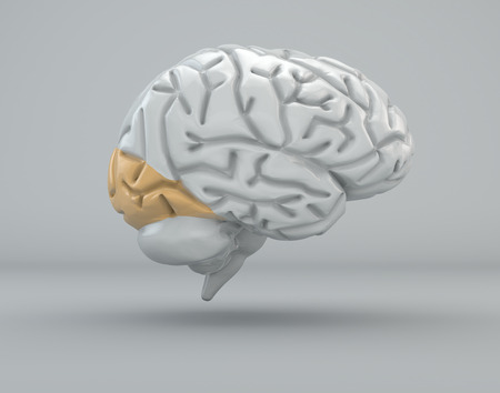 lobe: Brain, occipital lobe, division Stock Photo
