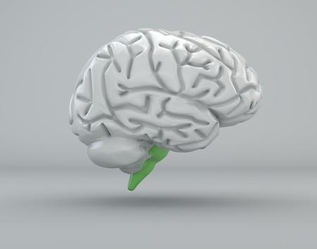 medulla oblongata: Brain, bulb, medulla oblongata, division