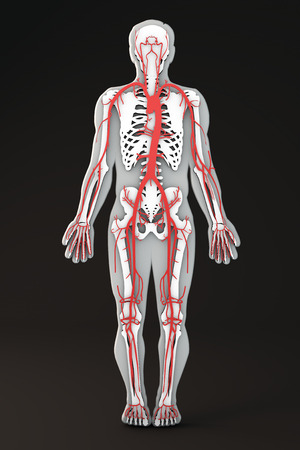 arteries: Section of the human body bones and arteries