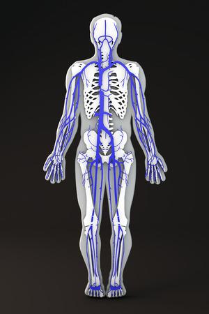 Abschnitt Des Menschlichen Körpers Venen Lizenzfreie Fotos, Bilder ...