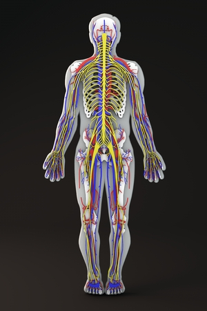 Human body skeleton section circulatory and nervous system Stock Photo