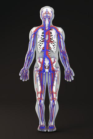 Der Menschliche Körper Skelettabschnitt Kreislauf-System Lizenzfreie ...