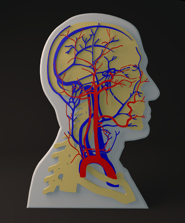 carotid: Facial artery and veins circulatory system, section head
