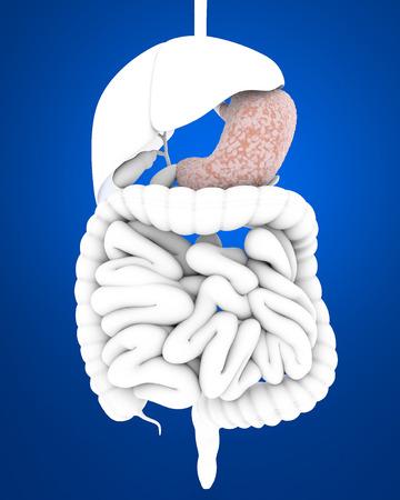 Digestive system, stomach, internal organs photo