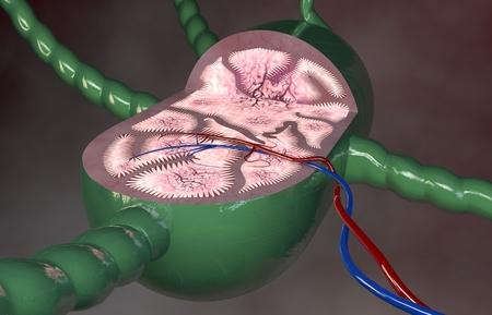 lymph: Lymph node section 3d anatomy