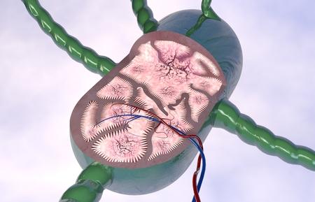 Lymph node section 3d anatomy