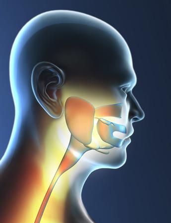 Pharynx, larynx, throat inflammation, x-ray photo