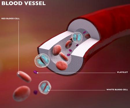 vasos sanguineos: Sección vaso sanguíneo de la arteria, vena, células rojas de la sangre Foto de archivo