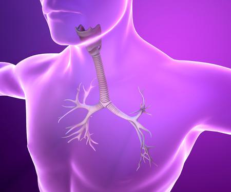 bronchiolar: Male bronchi anatomy Stock Photo