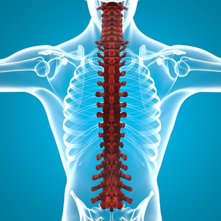dorsal: Human body spine anatomy
