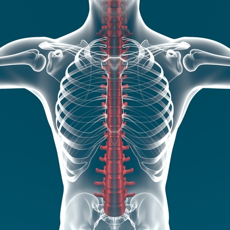 Der menschliche Körper Anatomie der Wirbelsäule Standard-Bild