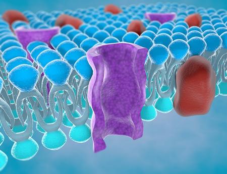 Struktur der Plasmamembran einer Zelle Standard-Bild
