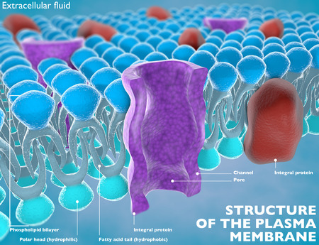membrane: Structure of the plasma membrane of a cell Stock Photo