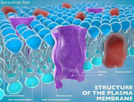 membrana cellulare: Struttura della membrana plasmatica di una cellula