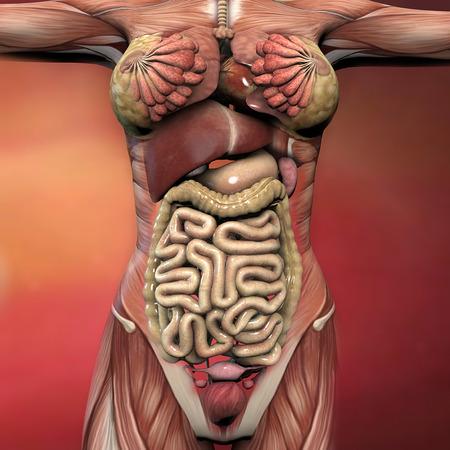 Weibliche Menschliche Körper Anatomie Muskeln Und Organe Lizenzfreie ...