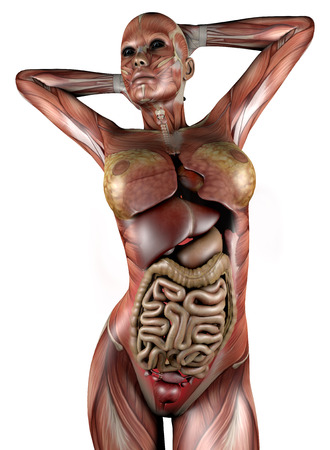 Female Body With Skeletal Muscles And Organs Illustration Of