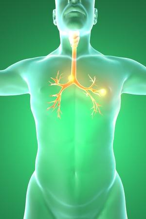 pharynx: Bronchus, the human body, man, 3d rendering Stock Photo