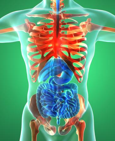 sistema digestivo: El sistema digestivo, los pulmones, esqueleto, radiograf�a Foto de archivo